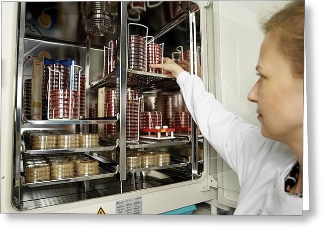 Incubating Bacteria Greeting Card by Tek Image