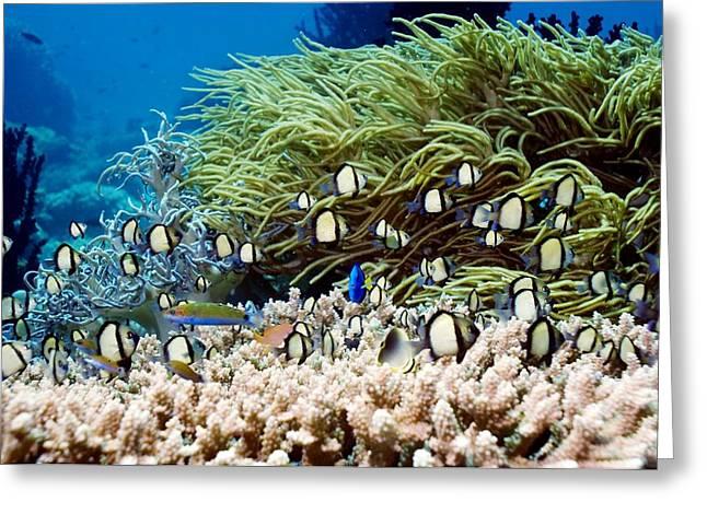Reef Fish Greeting Cards - Indian Dascyllus Damselfish Over Coral Greeting Card by Georgette Douwma