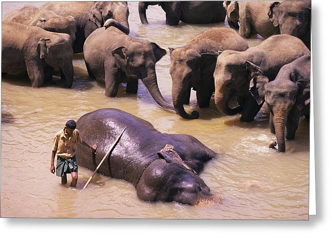 Enslave Greeting Cards - Indian Elephant Bathing Greeting Card by Bjorn Svensson
