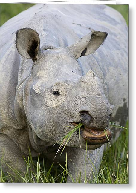One Horned Rhino Greeting Cards - Indian Rhinoceros Grazing Kaziranga Greeting Card by Suzi Eszterhas