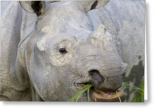 Indian Rhinoceros Grazing Kaziranga Greeting Card by Suzi Eszterhas