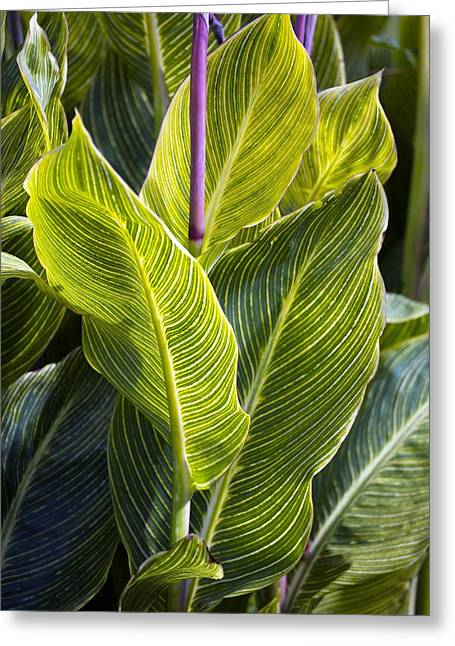Ovates Greeting Cards - Indian Shot Plant (canna striata) Greeting Card by Dr Keith Wheeler