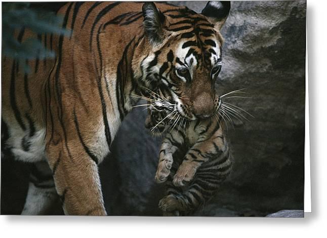 Tigress Greeting Cards - Indian Tigress, Sita, Moves Her Cubs Greeting Card by Michael Nichols