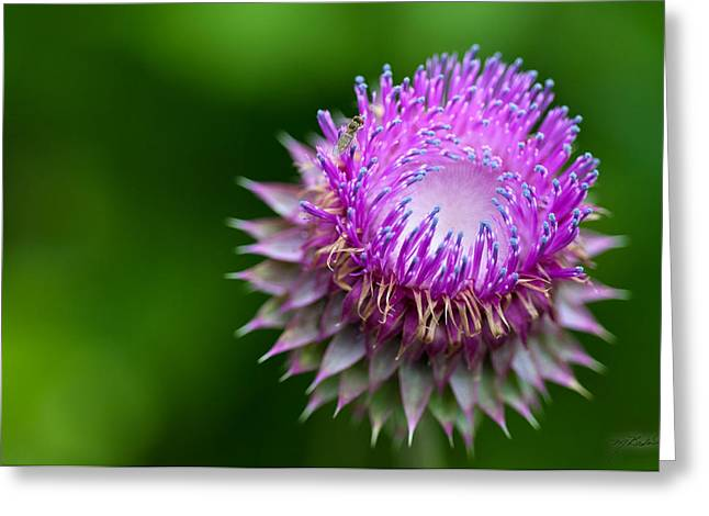 Indiana Flowers Greeting Cards - Indiana Purple Thistle Flower Greeting Card by Melissa Wyatt