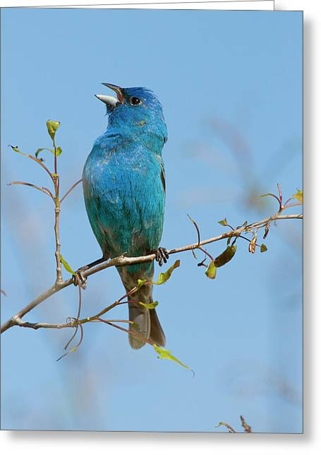 Us Open Photographs Greeting Cards - Indigo Bunting Passerina Cyanea Male Greeting Card by Steve Gettle