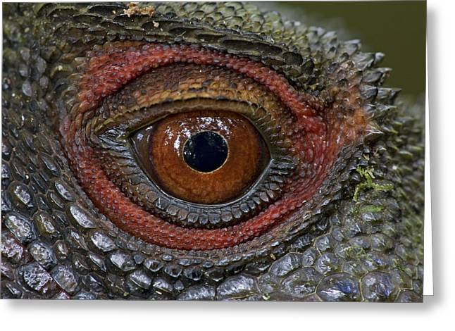 Indonesian Wildlife Greeting Cards - Indonesian Forest Dragon Eye Papua New Greeting Card by Piotr Naskrecki