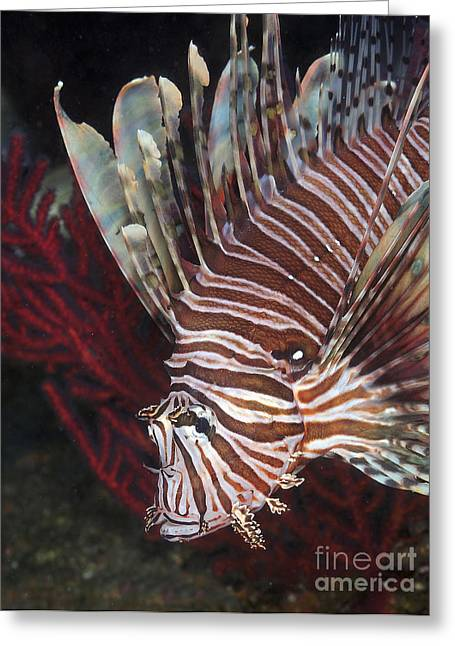 Flaring Greeting Cards - Indonesian Lionfish On A Wreck Site Greeting Card by Karen Doody