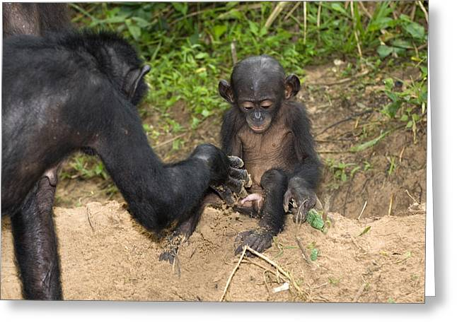 Caring Mother Greeting Cards - Infant Bonobo Ape And Mother Greeting Card by Tony Camacho