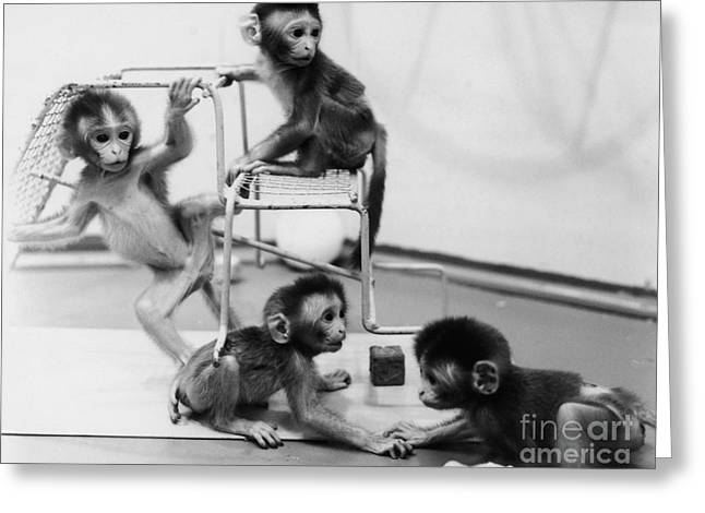 Socialize Greeting Cards - Infant Monkeys At Play Greeting Card by Science Source