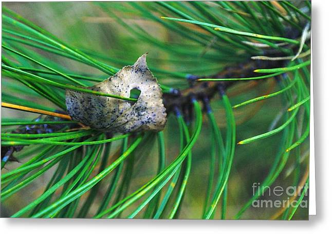 Pine Needles Greeting Cards - Inpaled  Greeting Card by Jeff  Swan