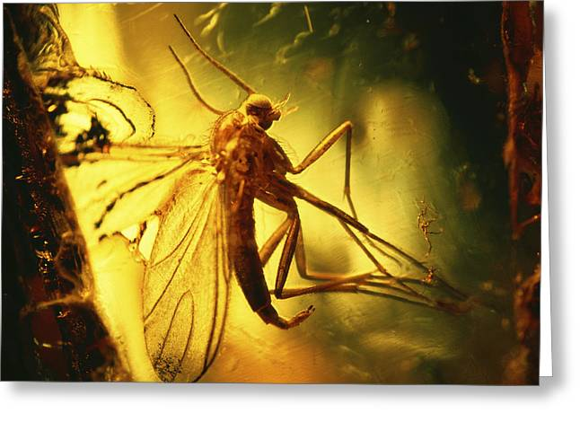 Midge Greeting Cards - Insect In Amber Greeting Card by Pasieka
