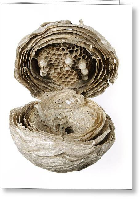Inside Of A Wasp Nest Greeting Card by Cordelia Molloy
