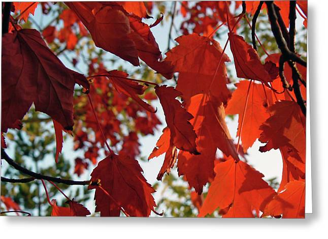 Far Above Greeting Cards - Inside Out Maple Greeting Card by Pamela Patch