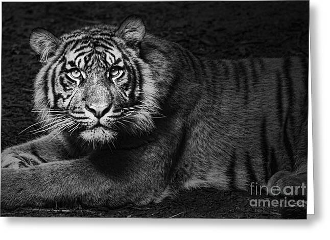 Asian Tiger Greeting Cards - Intent Greeting Card by Andrew Paranavitana