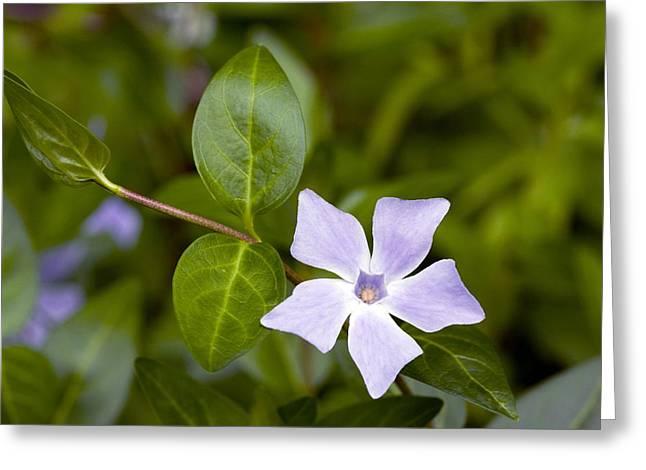 Vinca Flowers Greeting Cards - Intermediate Periwinkle (vinca Difformis) Greeting Card by Bob Gibbons