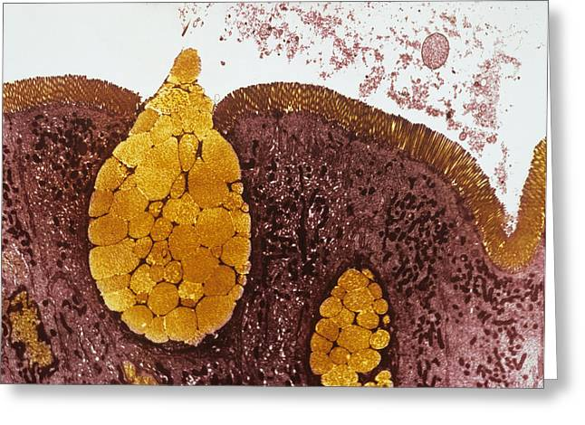 Goblet Greeting Cards - Intestinal Lining, Tem Greeting Card by Prof S. Cinti