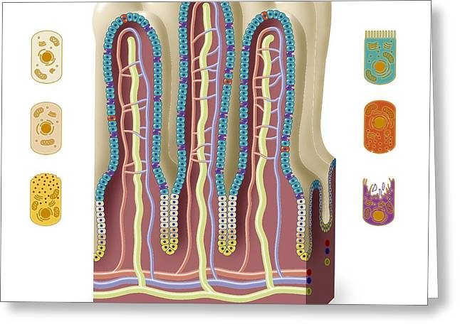 Goblet Greeting Cards - Intestinal Villi Anatomy, Artwork Greeting Card by Art For Science