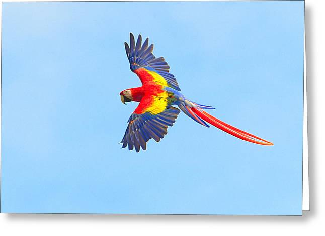 Macaw Greeting Cards - Into The Blue Greeting Card by Tony Beck