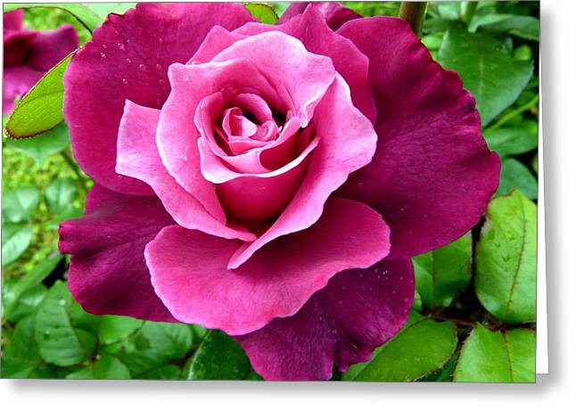 Intrigue Rose Greeting Card by Will Borden