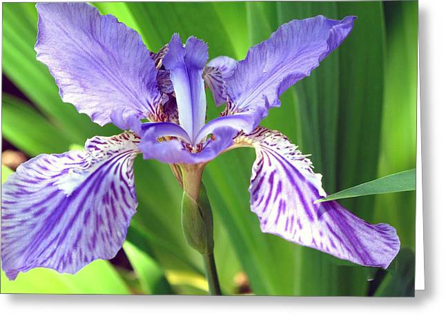 Best Sellers -  - Cheekwood Greeting Cards - Iris 3 Greeting Card by Joy Neasley