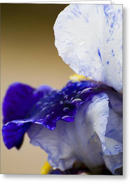 Roger Lewis Greeting Cards - Iris After the Rain Greeting Card by Roger Lewis