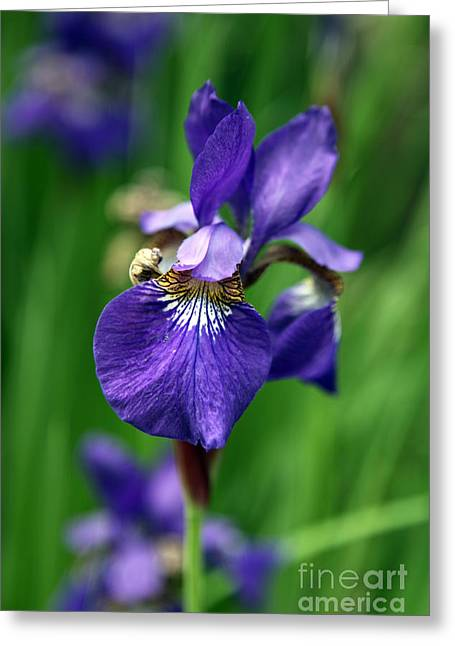 Iris Print Greeting Cards - Iris Greeting Card by Amanda Barcon