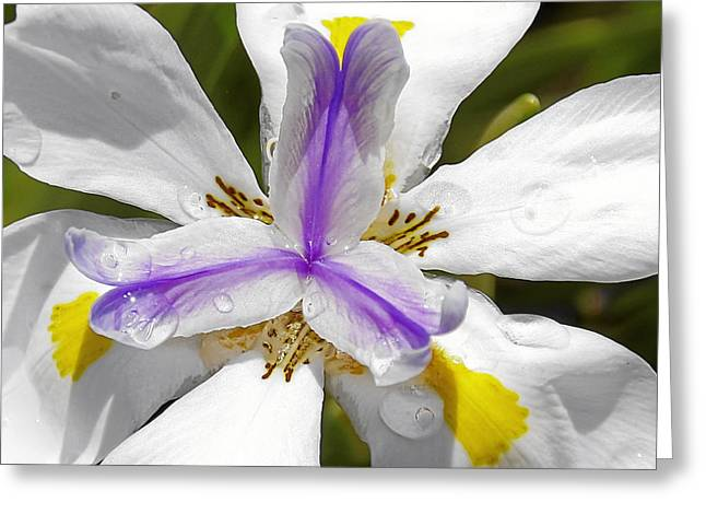 Purity Greeting Cards - Iris An Explosion of Friendly Colors Greeting Card by Christine Till