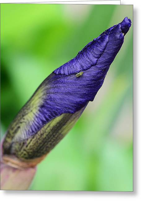 Ecru And Brown Greeting Cards - Iris and Friend Greeting Card by Lisa  Phillips