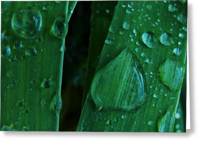 Copyright Protected. Greeting Cards - Iris Drops Greeting Card by Barbara St Jean