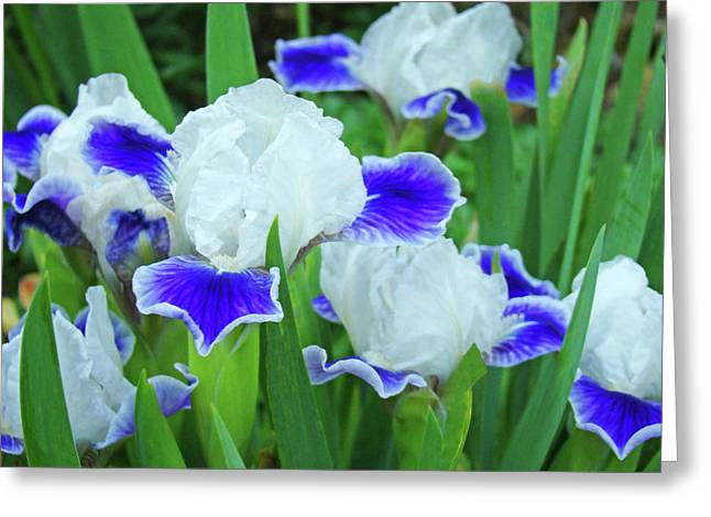 Baslee Troutman Greeting Cards - Iris Flowers art prints Blue White Irises Floral Baslee Troutman Greeting Card by Baslee Troutman Fine Art Print Collections