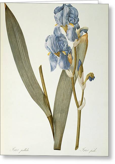 Coloured Flower Greeting Cards - Iris Pallida Greeting Card by Pierre Joseph Redoute