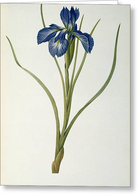 Best Sellers -  - Coloured Greeting Cards - Iris Xyphioides Greeting Card by Pierre Joseph Redoute