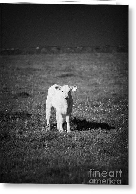 Ear Tags Greeting Cards - Irish Lone Calf In A Field Greeting Card by Joe Fox