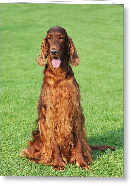 Setter Pointer Greeting Cards - Irish setter dog portrait Greeting Card by Waldek Dabrowski