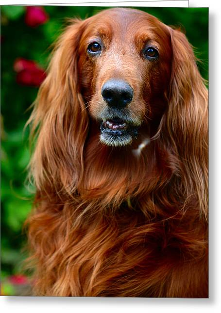 Amateur Greeting Cards - Irish Setter I Greeting Card by Jenny Rainbow