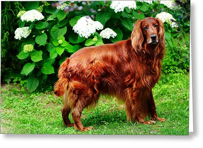 Amateur Greeting Cards - Irish Setter III Greeting Card by Jenny Rainbow