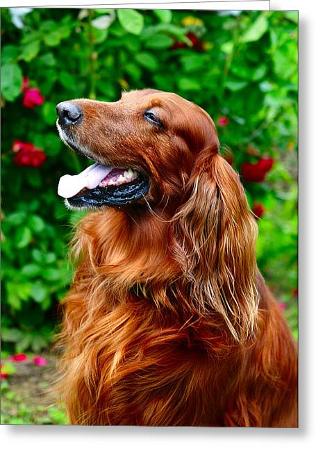 Amateur Greeting Cards - Irish Setter Greeting Card by Jenny Rainbow