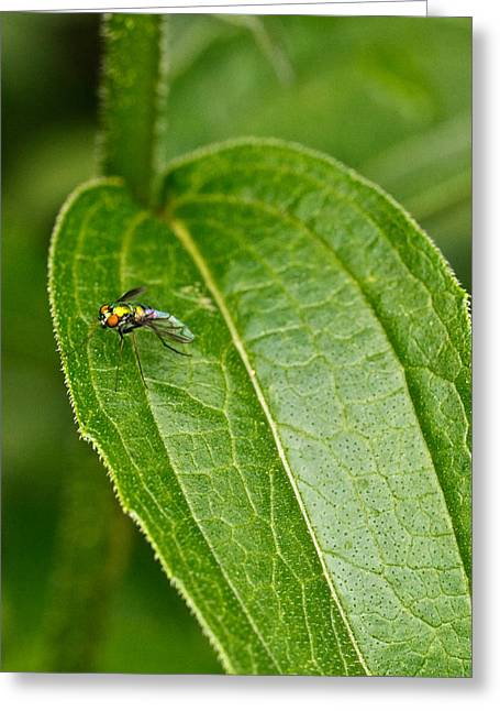 Irridescent Greeting Cards - Irridescent Red Eyed Fly Greeting Card by Douglas Barnett
