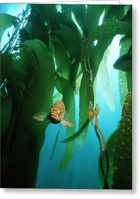 Kelp Forest Greeting Cards - Island Kelpfish Greeting Card by Georgette Douwma