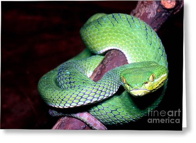 Viper Greeting Cards - Island Pit Viper Greeting Card by Dante Fenolio