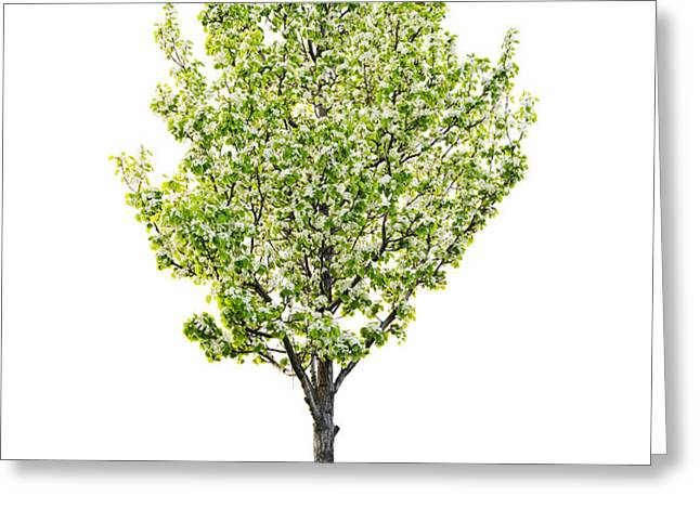 Isolated flowering pear tree Greeting Card by Elena Elisseeva