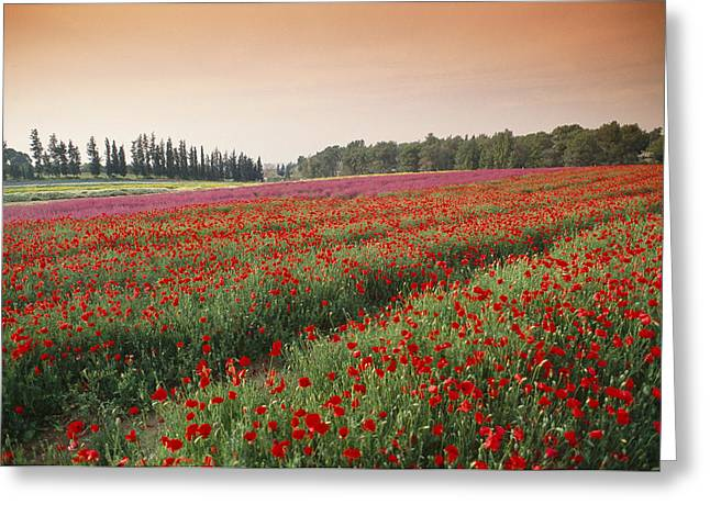 Collective Greeting Cards - Israel---farming Poppies Papaver Greeting Card by Richard Nowitz