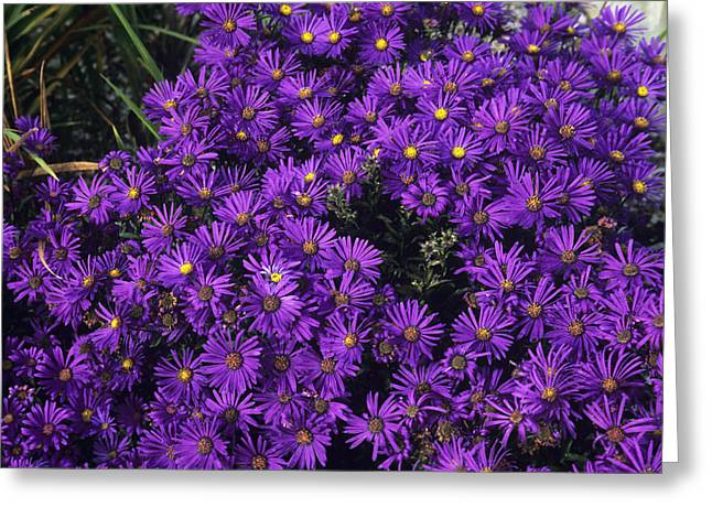 Asters Greeting Cards - Italian Aster (aster veilchenkonigin) Greeting Card by Adrian Thomas