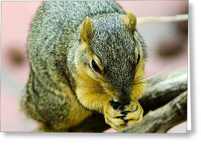 Squirrel Greeting Cards - Its all mine Greeting Card by LeeAnn McLaneGoetz McLaneGoetzStudioLLCcom