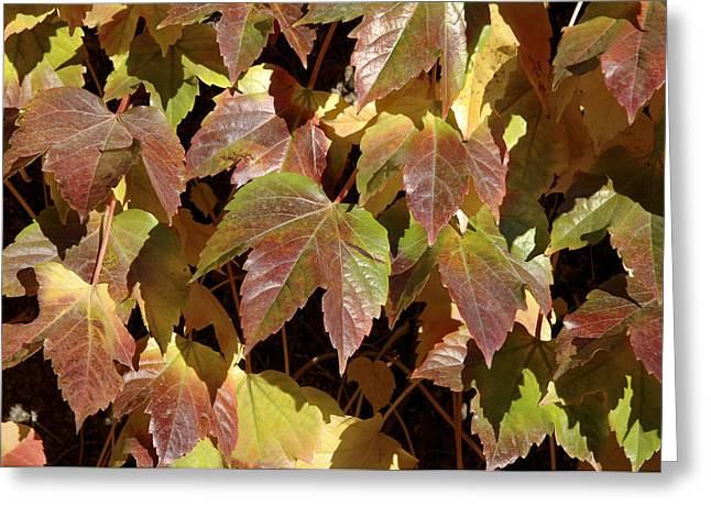 Vine Leaves Greeting Cards - Ivy Leaves (parthenocissus Sp.) Greeting Card by Johnny Greig