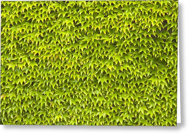 Wimbledon Greeting Cards - Ivy Wall Greeting Card by Andy Smy