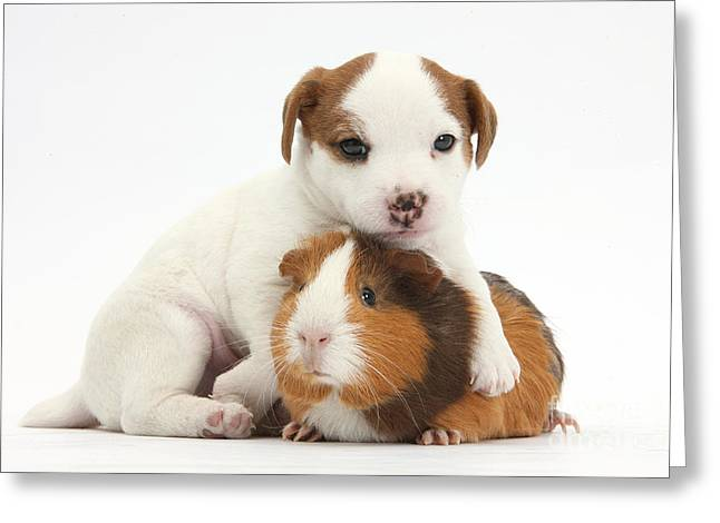 Jack Russell Terrier Greeting Cards - Jack Russell Terrier Puppy And Guinea Greeting Card by Mark Taylor