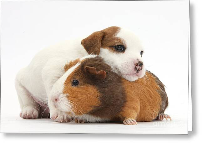Black Pig Greeting Cards - Jack Russell Terrier Puppy Guinea Pig Greeting Card by Mark Taylor