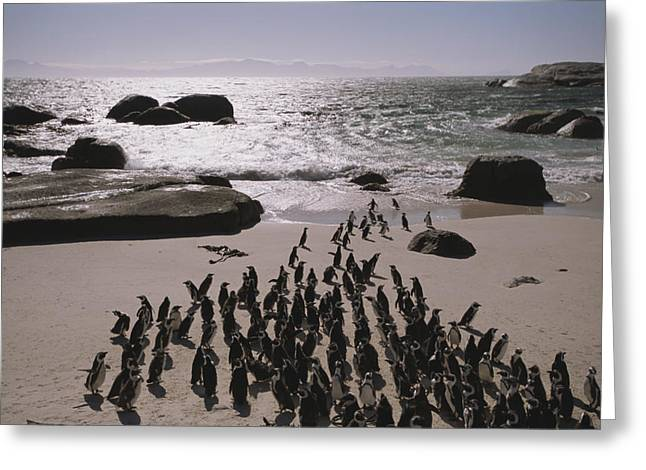 Cape Town Greeting Cards - Jackass Penguins Along The Shoreline Greeting Card by Joel Sartore