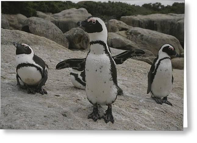 Jackass Greeting Cards - Jackass Penguins Greeting Card by Kenneth Garrett